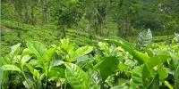 Porductos naturales y ecológicos - te