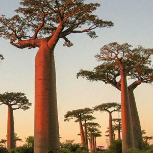 Tienda ecológica en Granada. Árbol del Baobab